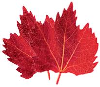赤ブドウ葉